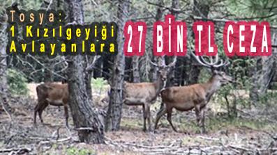 <center> Tosya: 1 Kızılgeyiği Avlayanlara   </center><center><font color='blue'>27 BİN TL CEZA </font></center>