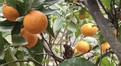 <center> Bartın: BU KÖYDE </center><center><font color='blue'> Limon, portakal  ve mandalina, YETİŞİYOR </font></center>