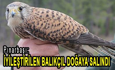 <center> Pınarbaşı: </center><center><font color='blue'> İYİLEŞTİRİLEN BALIKÇIL DOĞAYA SALINDI </font></center>